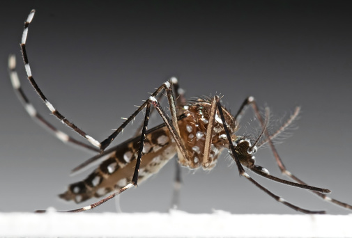 Macro Foto De La Fiebre Amarilla Mosquito Aislada Sobre Fondo Foto de stock y más banco de imágenes de Aedes aegypti