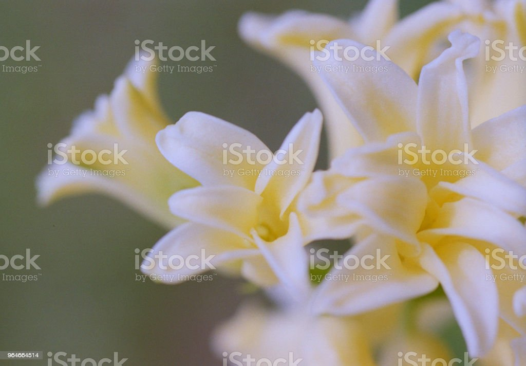 Macro photo of yellow hyacinth flower. Shot on film royalty-free stock photo