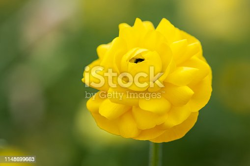 Macro photo of yellow ranunculus flower. No people are seen in frame. Shot with a full frame DSLR camera and a macro lens.