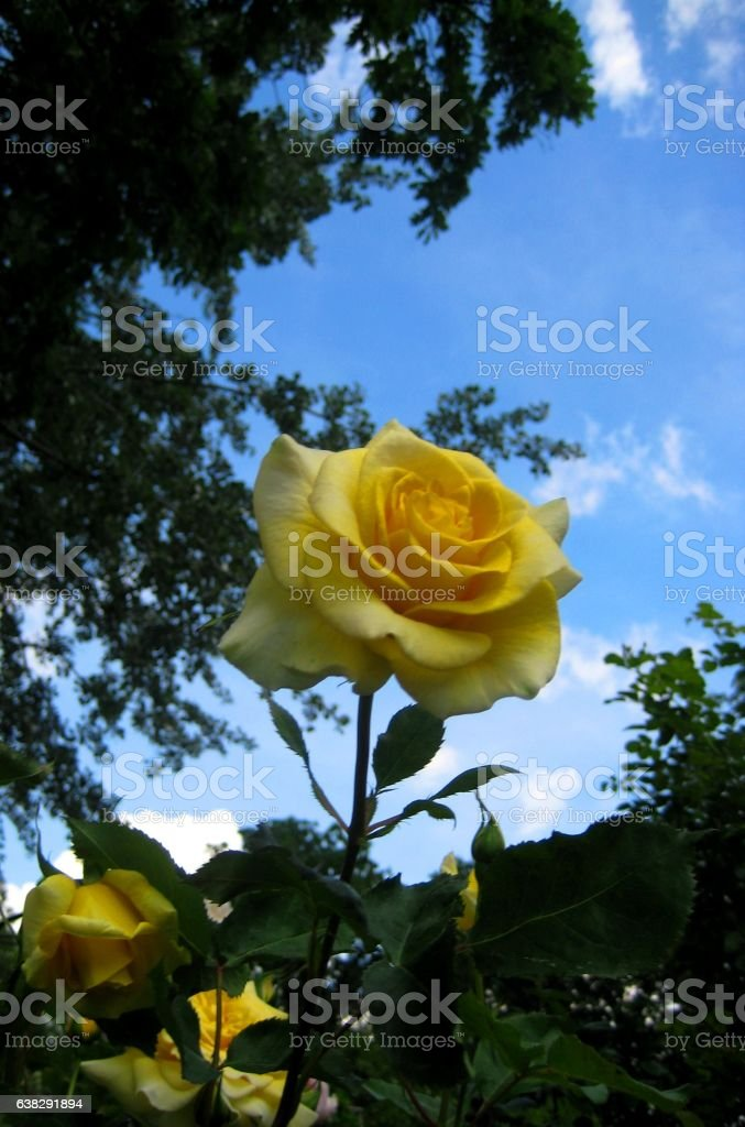 macro photo of yellow roses on a background of a Park landscape stock photo