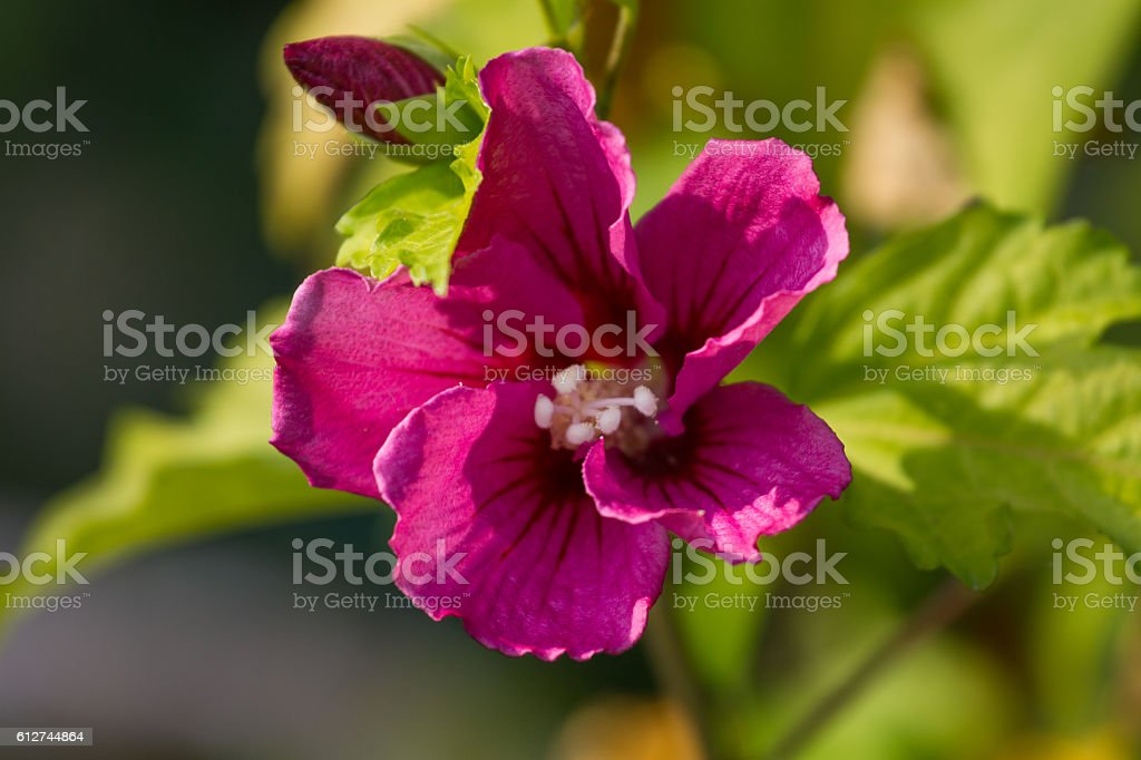 Macro Photo Oh Hibiscus Plant Violet Color Flower With Blurry Stock