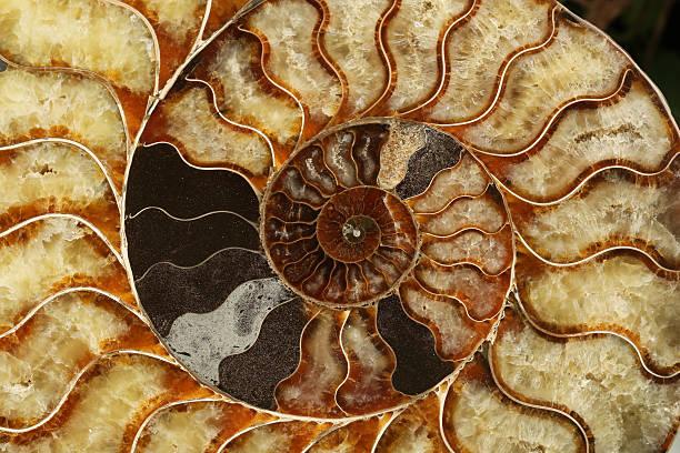 Makro-Bild eines Ammonit Fossil – Foto