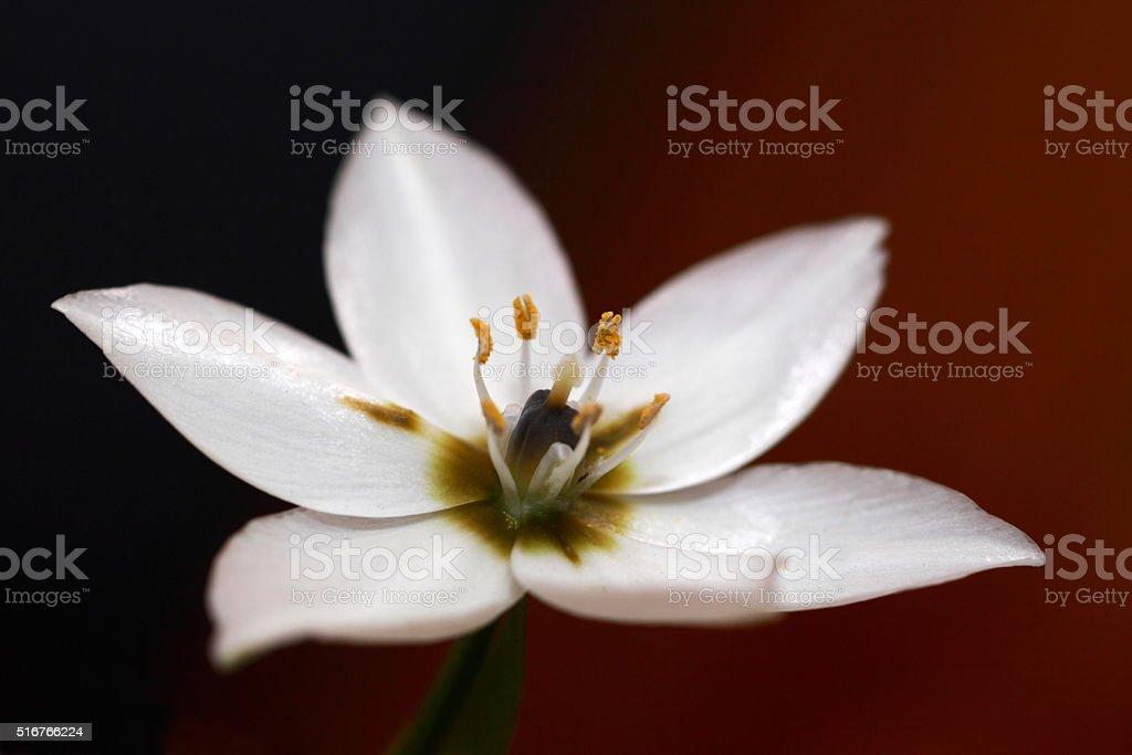 Macro photograph of White Arabicum flower stock photo