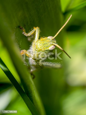 Macro photography of a green grasshopper covered in pollen, captured in a garden near the colonial town of Villa de Leyva, in the central Andean mountains of Colombia.