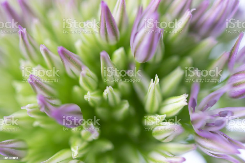 Macro photography of Allium blossom - Royalty-free Allium Flower Stock Photo
