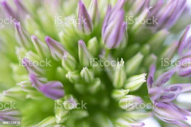 Makrofotografering Allium Blossom-foton och fler bilder på Beskrivande färg