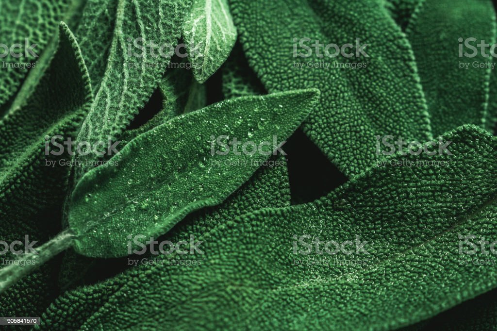 Macro photography of fresh sage. Concept of organic food. stock photo