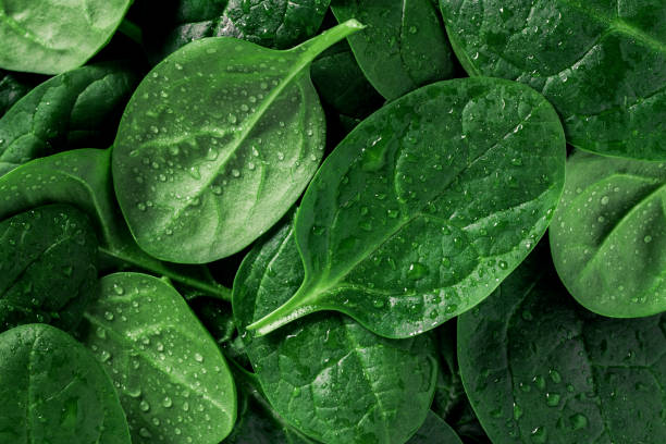 Macro photography of fresh spinach. Concept of organic food. stock photo