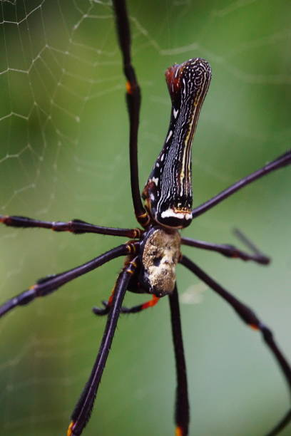 Fotografía macro en Golden Orb Web Spider - foto de stock