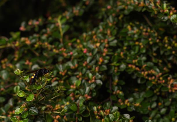 罕見的脊柱側皮黃蜂的宏觀照片 - murder hornet 個照片及圖片檔