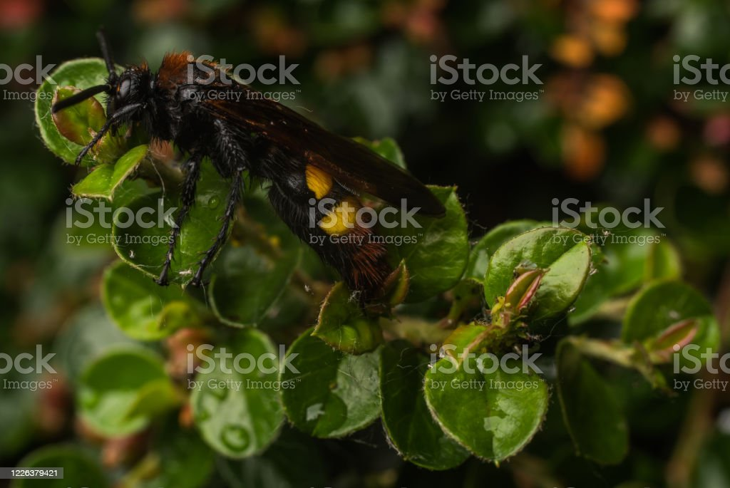 罕見的脊柱側皮黃蜂的宏觀照片 - 免版稅俄羅斯圖庫照片