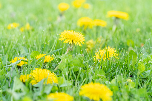 Spring Dandelions with selective focus.
