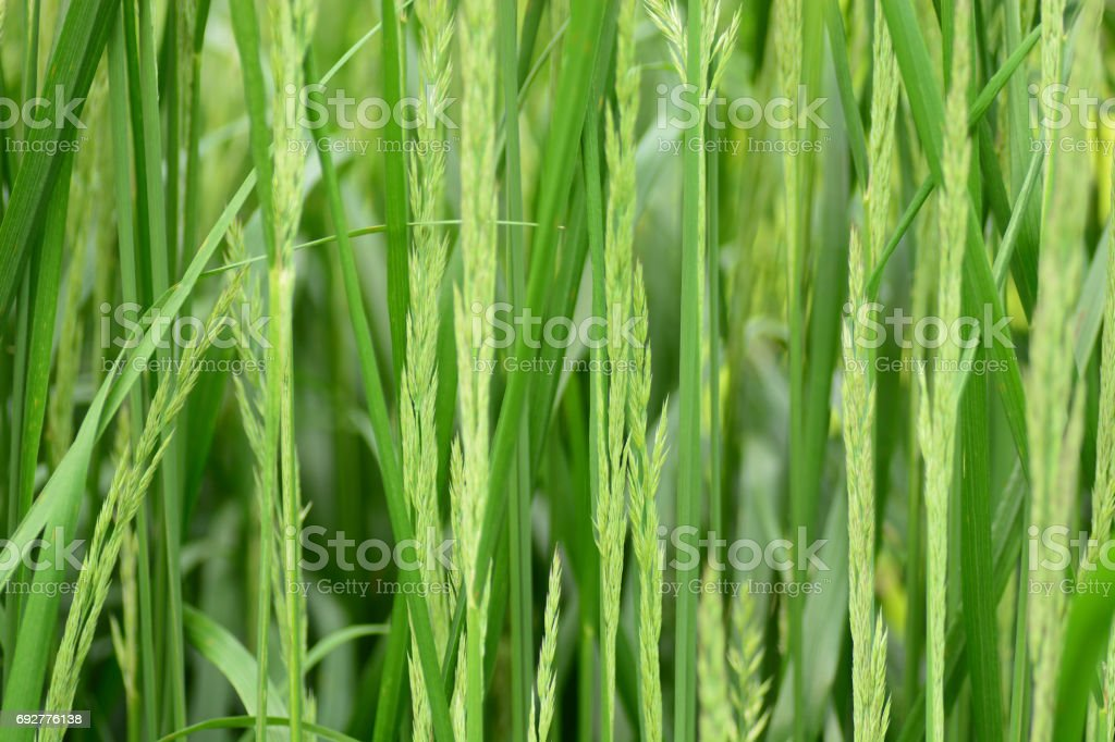 Macro picture a bunch of Rye grass. stock photo