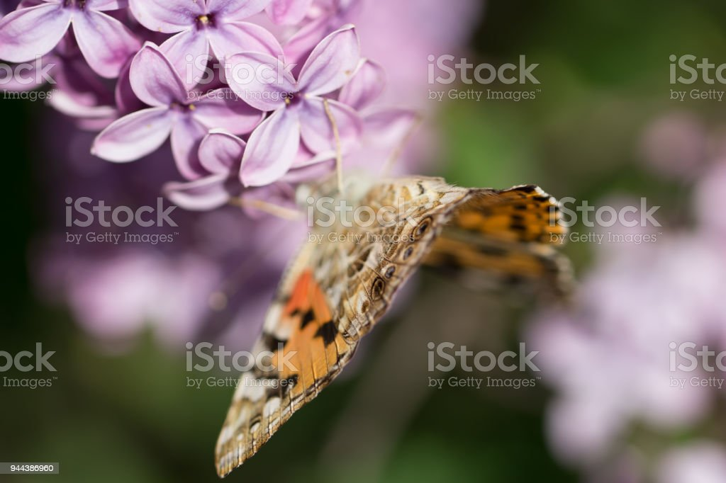 macro picture  butterfly flying on violet flowers of lilac bush stock photo