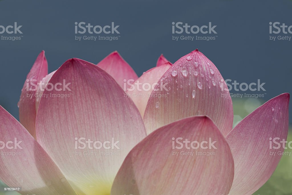Macro picture of a pink and white full bloomed lotus flower royalty-free stock photo