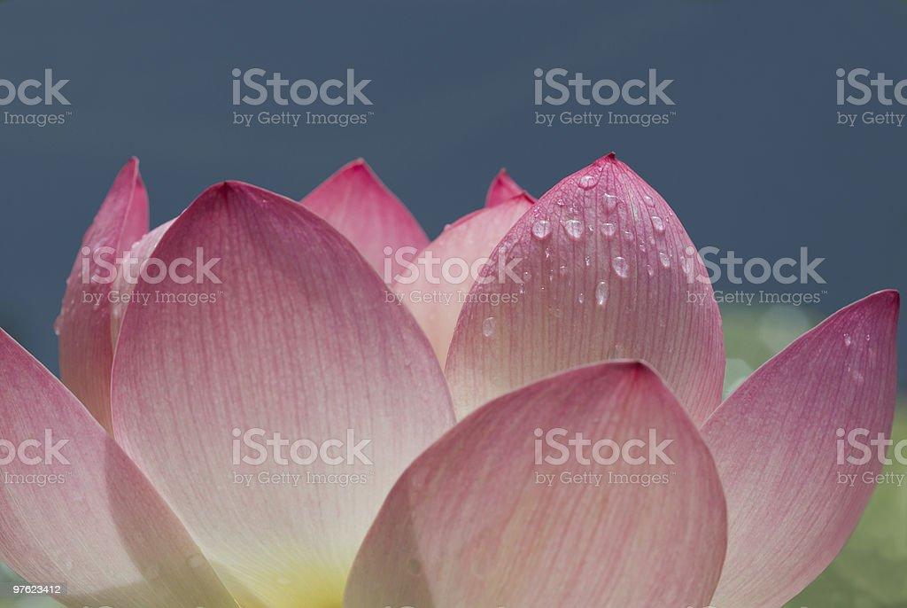 Gros plan fleur de Lotus photo libre de droits