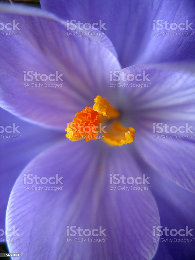 Macro picture of a Purple Crocus royalty-free stock photo