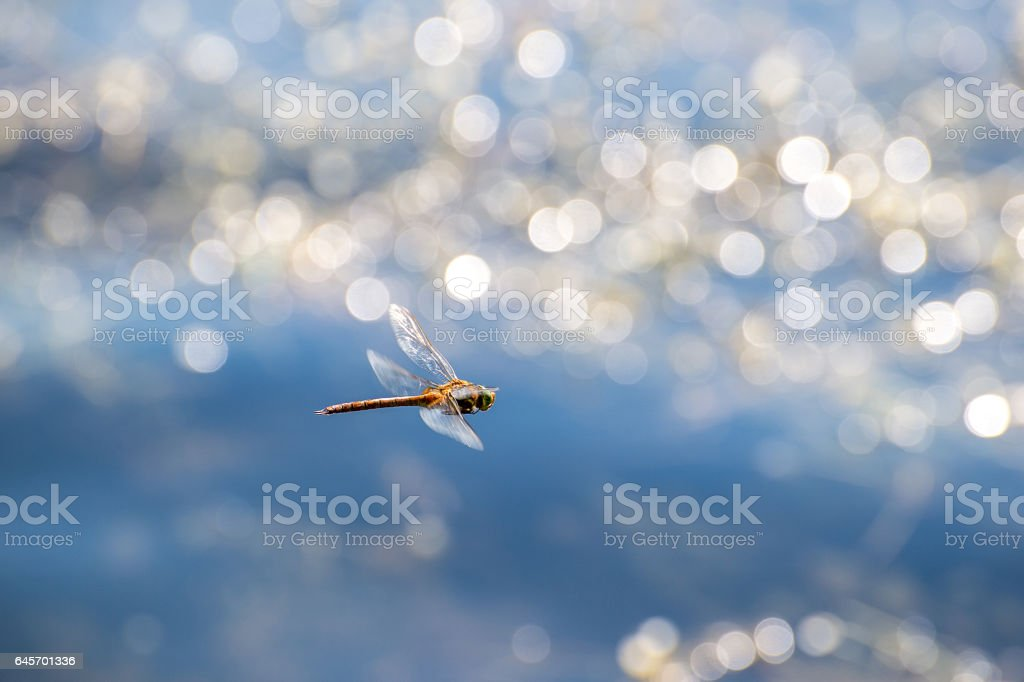 Macro picture of dragonfly flying on the water stock photo
