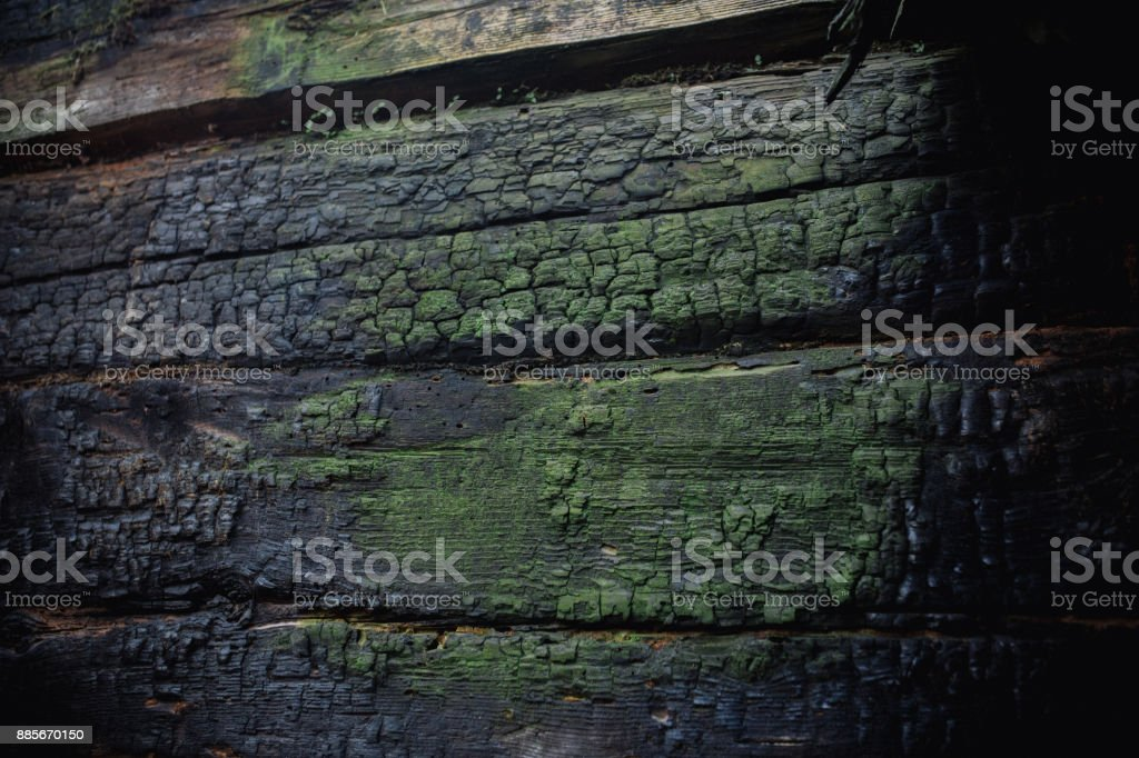 Macro picture of green moss. Close up macro photography of nature. Moss lichen background on the wooden wall texture stock photo