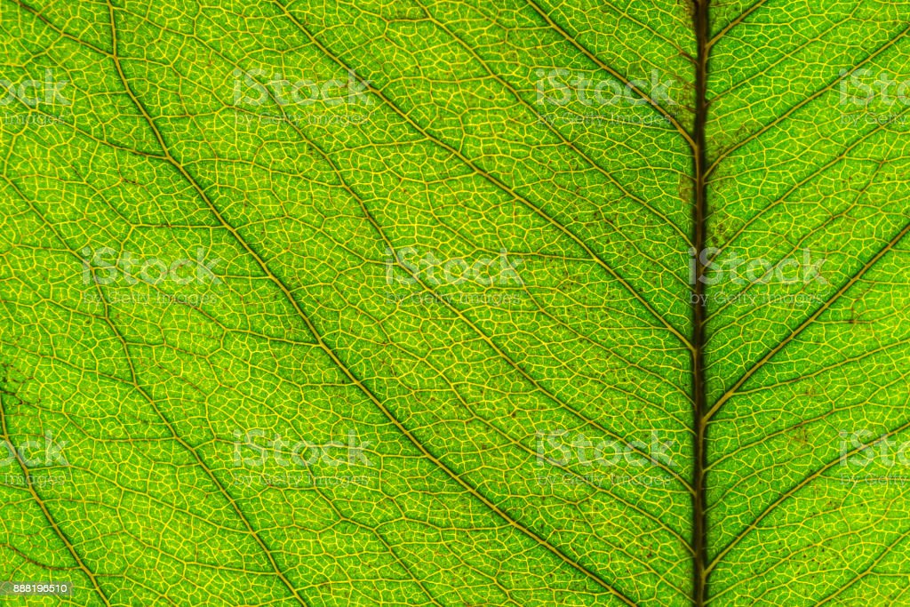 Macro picture of leaf texture stock photo