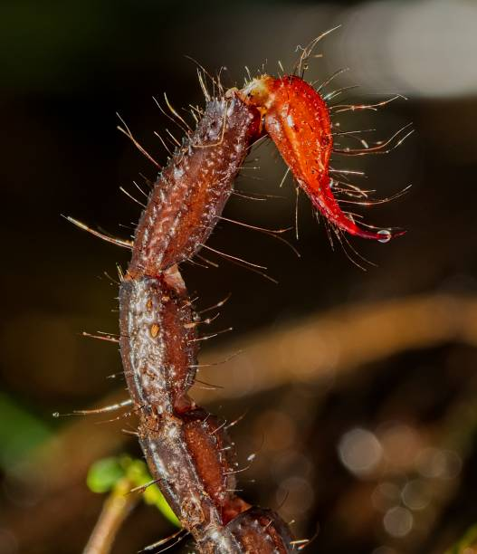 Macro picture of tail of an Ingali or Indian Red Scorpion Hottentotta tamulus, the Indian red scorpion (Tamil: செந்தேள்; also known as the eastern Indian scorpion), is a species of scorpion belonging to the family Buthidae. It occurs in most of India,[2] eastern Pakistan[1] and the eastern lowlands of Nepal.,[3] and recently from Sri Lanka buthidae stock pictures, royalty-free photos & images