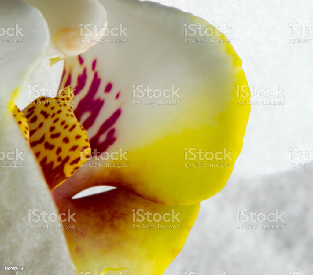 Macro pictures of the flowers of an orchid from our windowsill stock photo