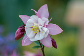 macro pink columbine flower