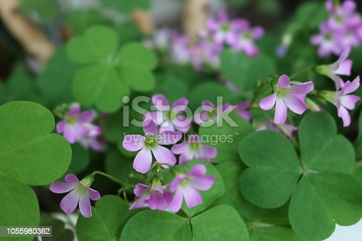 Plant with clover leaves and flowers in pink and white colors