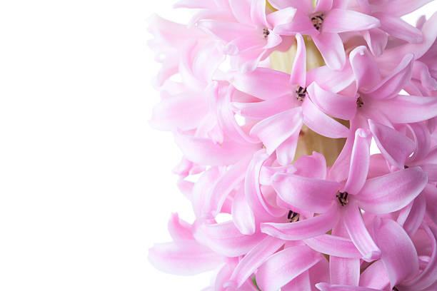 접사를 핑크 히아신스 - 히아신스 뉴스 사진 이미지