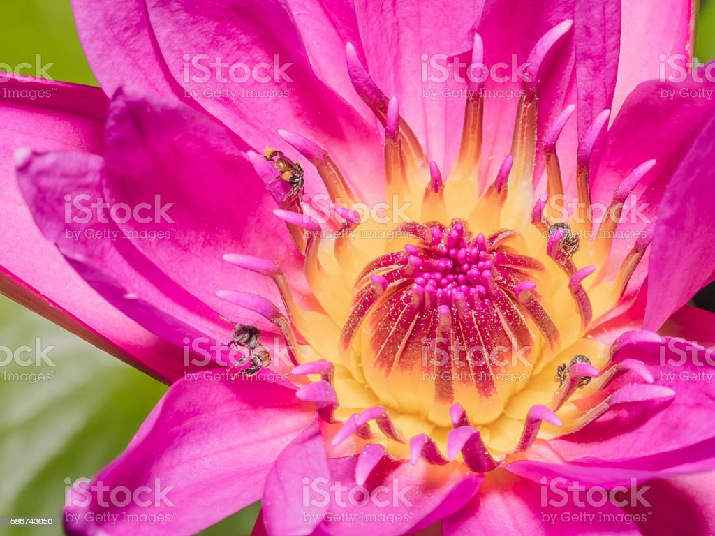 Macro Pink Lotus Flowers with Bees eating for Nature Backgrounds stock photo