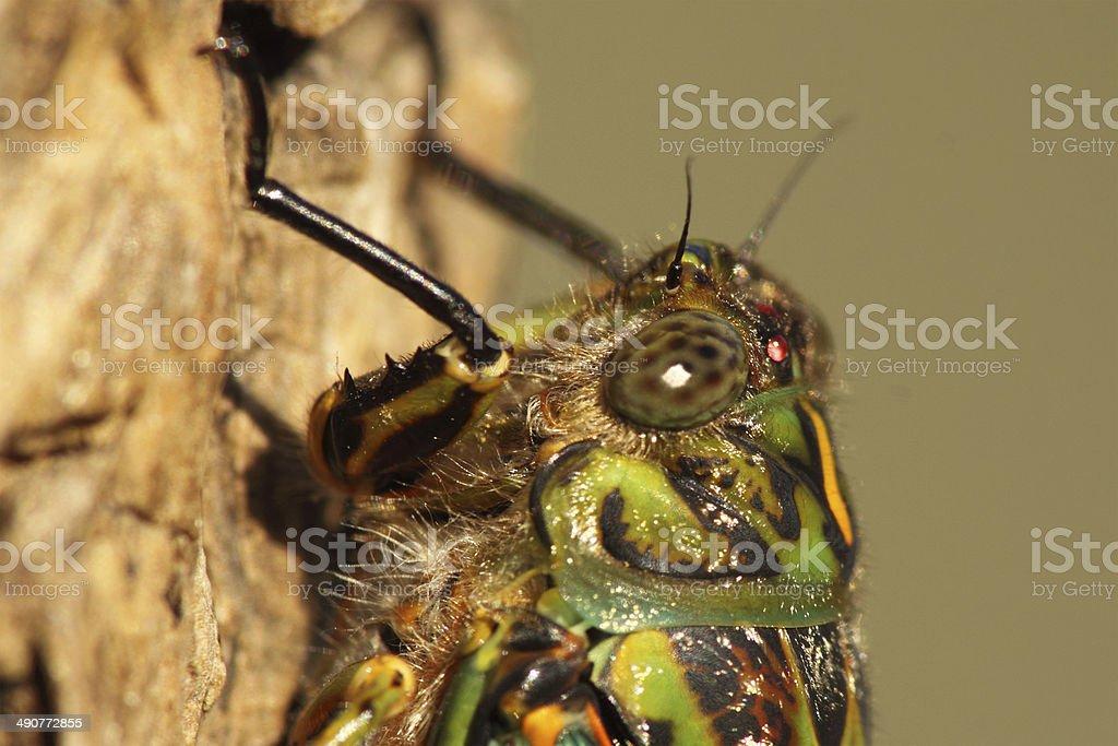 Macro Portrait Of Cicada stock photo
