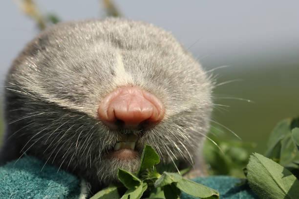 macro portrait of lesser mole rat macro portrait of lesser mole rat ( Spalax leucodon ) mole animal stock pictures, royalty-free photos & images