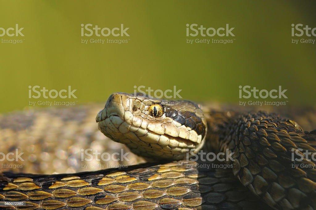 macro portrait of vipera ursinii stock photo