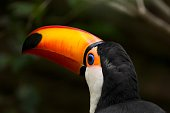This macro portrait image shows a beautiful toco toucan (Ramphastos toco).