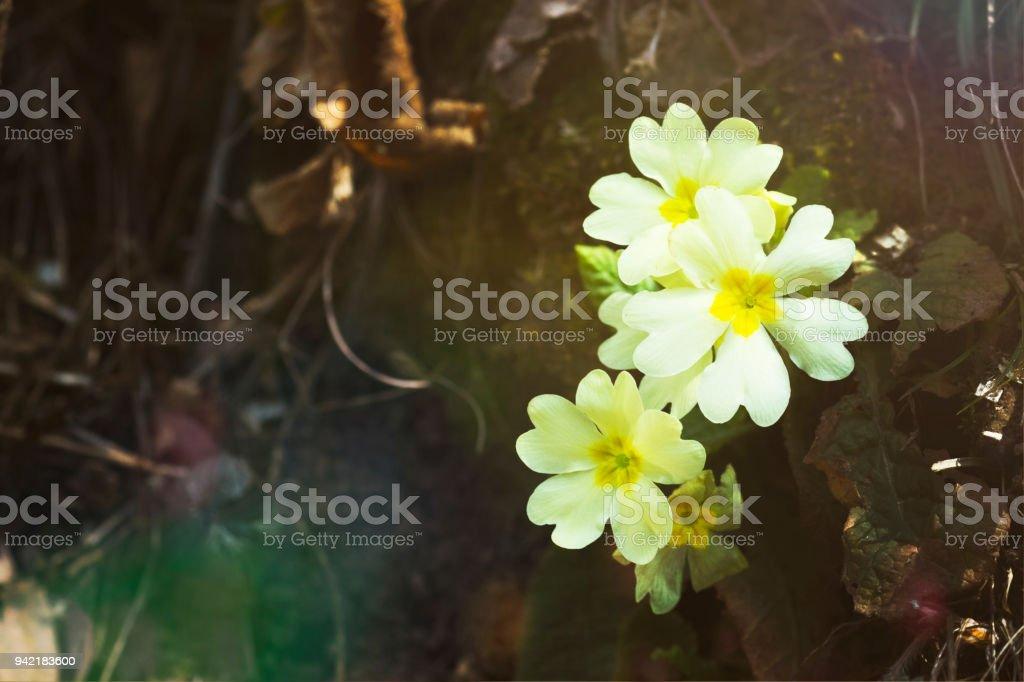 Macro primule in fiore - foto di stock immagine - foto stock