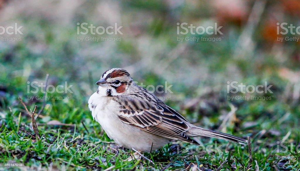 Macro Profile of Lark Sparrow Facing Left stock photo