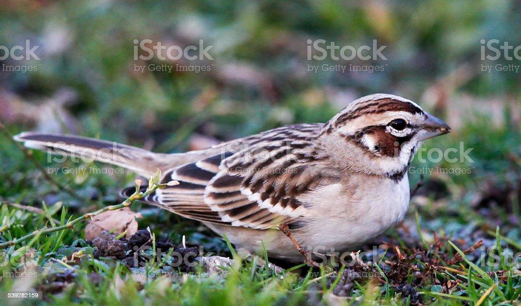 Macro Profile of Lark Sparrow Facing Right stock photo
