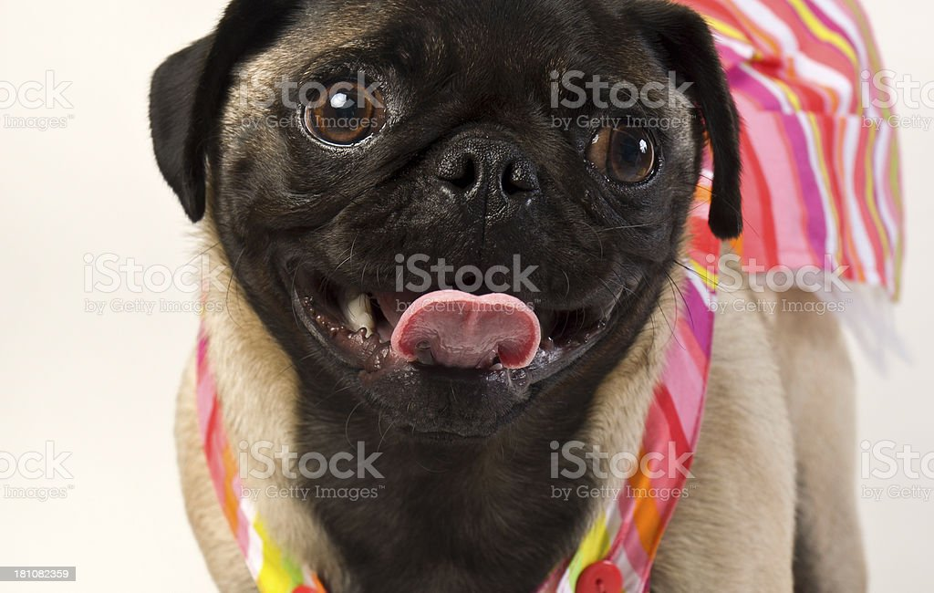 Macro Pug Boxer Portrait With Colorful Beachwear Against White Background royalty-free stock photo