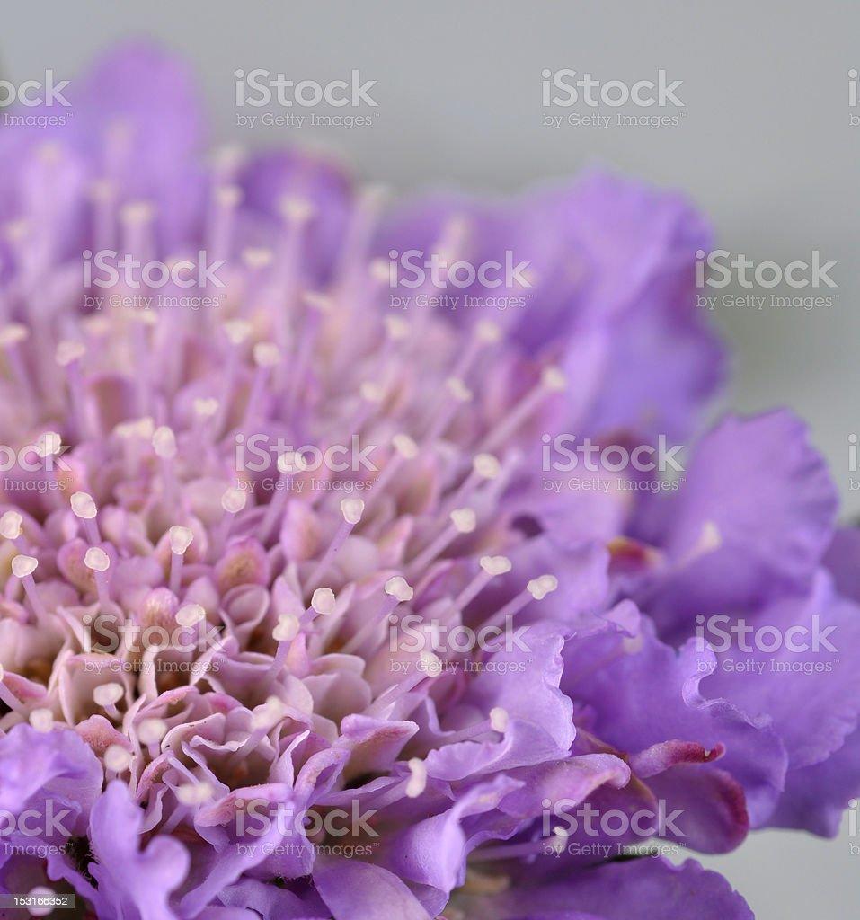 Macro purple Pincusion butterfly bush royalty-free stock photo