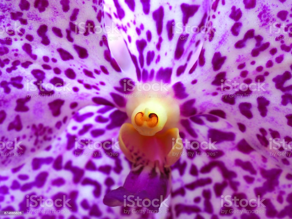 Macro purple spotted white petal, yellow pollen Vanda orchid flower stock photo