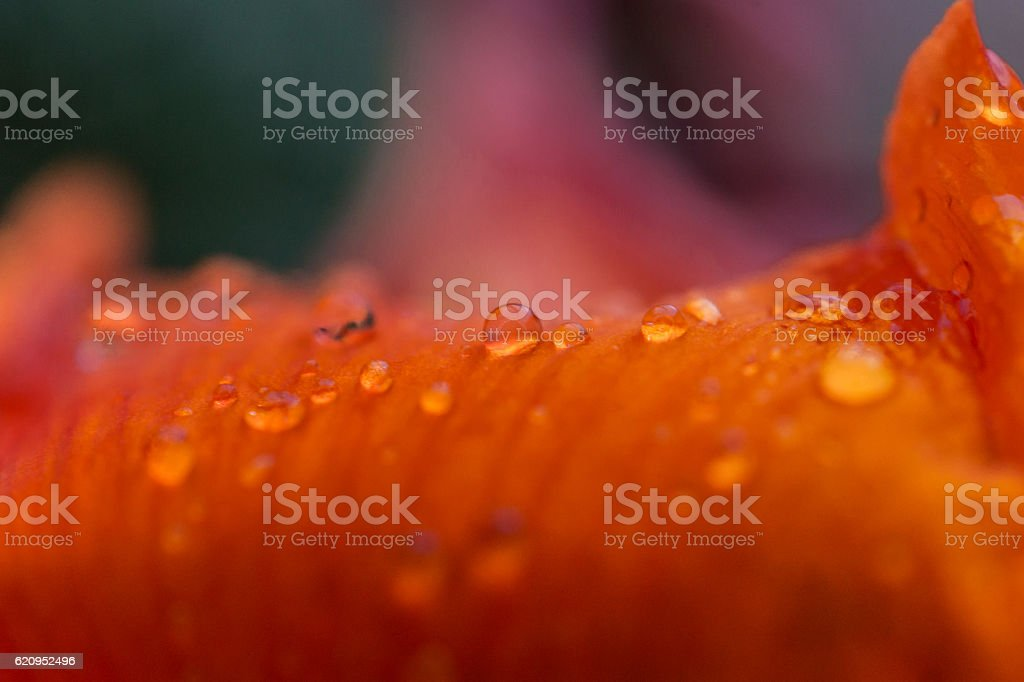 macro: rain drops on orange flower petals royalty-free stock photo