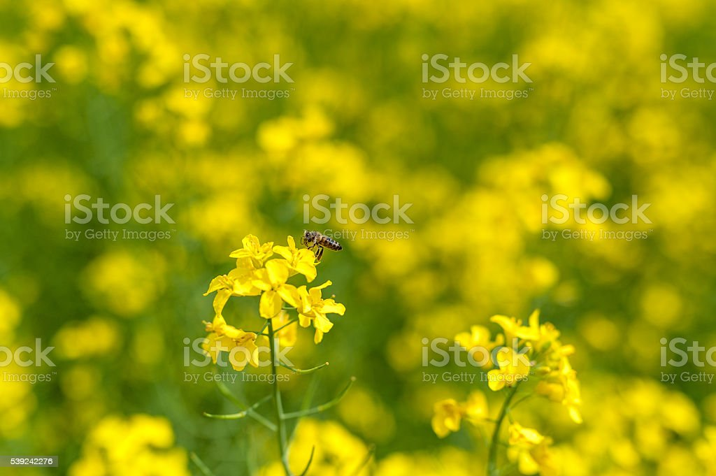Macro Rapeseed field and one bee flying over the blossom royalty-free stock photo