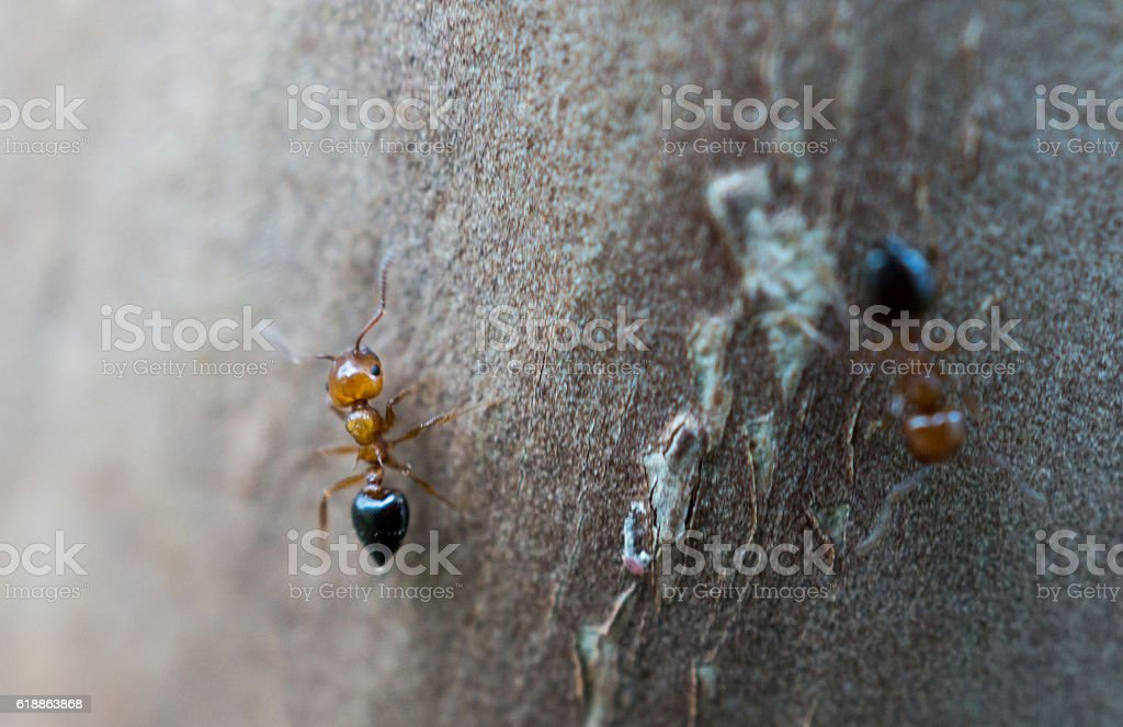macro: red and black ants on tree bark royalty-free stock photo