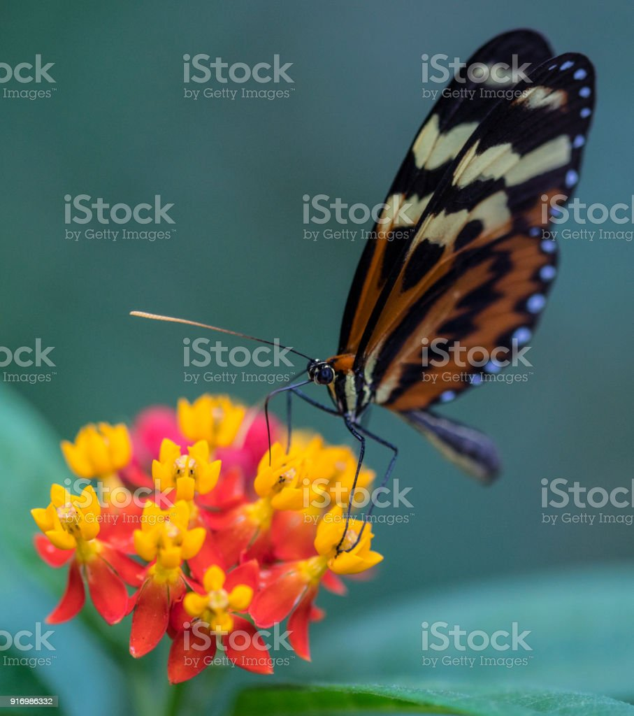 macro red cracker butterfly om yellow orange flower, against blue green background stock photo