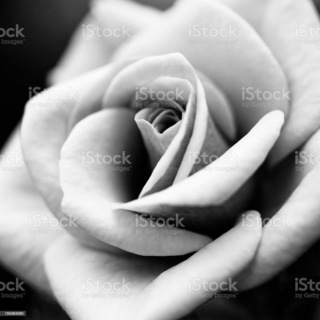 macro rose flower stock photo