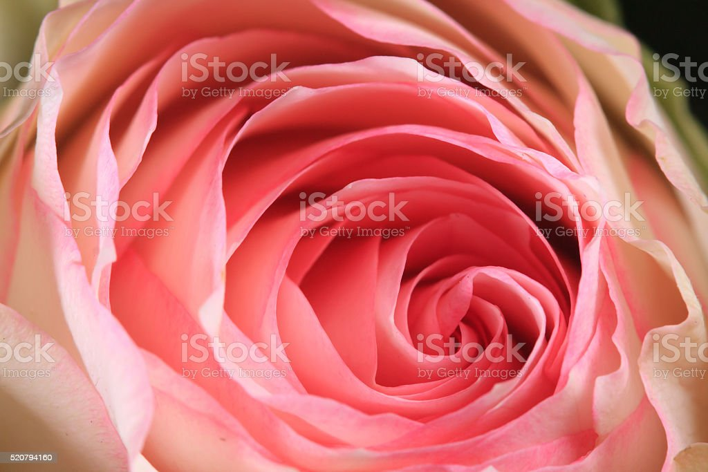 Macro Rose Pink and white stock photo