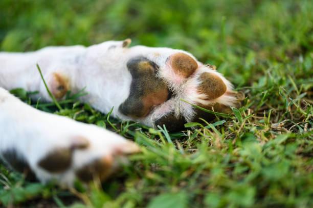 makro çekim beagle köpek pençe ayak ve çivi - pati stok fotoğraflar ve resimler