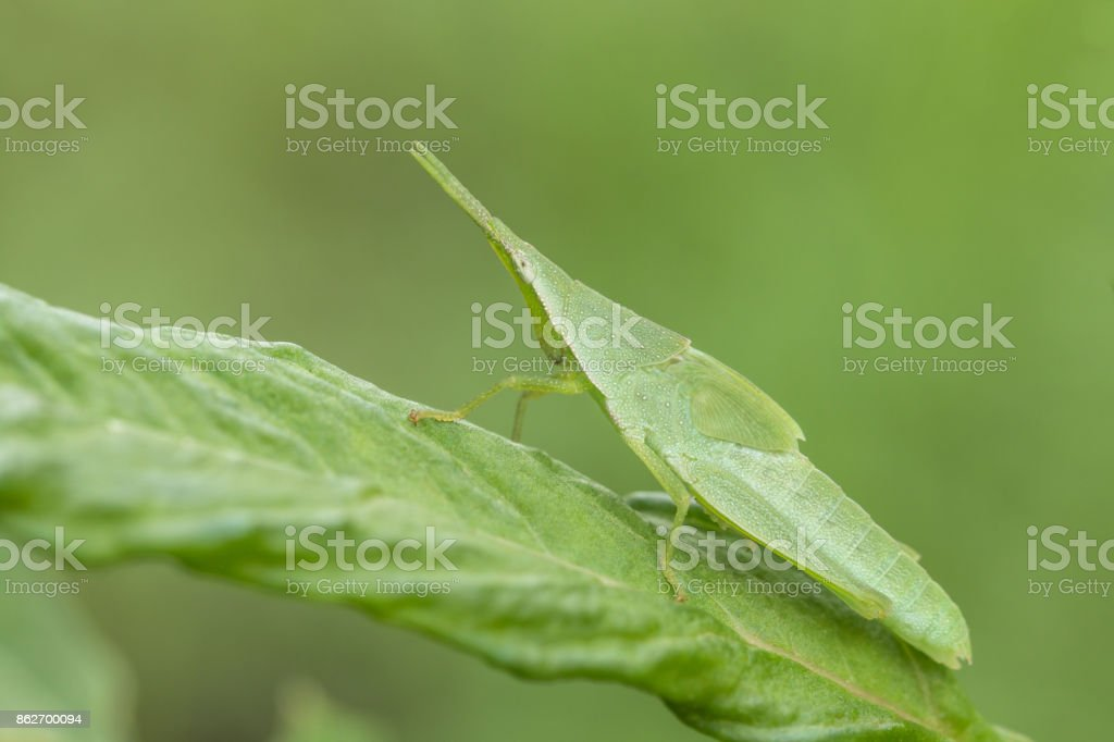 Macro shooting of A Big Grasshopper green leaf insect sitting on the green leaf stock photo