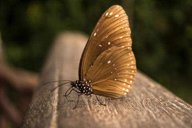 11 Real Butterflies Backgrounds Stock Photos Pictures And Images