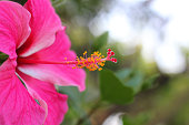 Macro shot of a beautiful and vibrant hibiscus flower on a green background. In the tropical garden. Real nature flowers. closeup pink hibiscus flower pollen with green blur background.